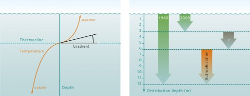 5.3 > The boundary zone between warm, near-surface waters and the deeper cold waters is called thermocline. The gradient is a measure of how rapidly the temperature changes in the thermocline. A high gradient means rapid changes over short depth intervals. ©maribus    5.4 > In 1960 the bladderwrack could be found to a depth of 12metres in the western Baltic Sea; in 2009 only down to 3 metres. The light deficiency caused by eutrophication contributed significantly to its disappearance between 6 and 12metres – yet it cannot explain its absence between 3 and 6 metres. ©maribus (after M. Wahl)
