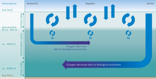 2.14 > Oxygen from the atmosphere enters the near-surface waters of the ocean. This upper layer is well mixed, and is thus in chemical equilibrium with the atmosphere and rich in O₂. It ends abruptly at the pyncnocline, which acts like a barrier. The oxygen-rich water in the surface zone does not mix readily with deeper water layers. Oxygen essentially only enters the deeper ocean by the motion of water currents, especially with the formation of deep and intermediate waters in the polar ­regions. In the inner ocean, marine organisms consume oxygen. This creates a very sensitive equilibrium. © maribus