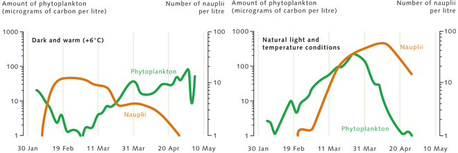 5.5 > Phytoplankton reproduction (green line) normally begins with the increase in light availability around the end of winter, before the hatching of the zooplankton larvae (nauplii, red line). This ensures that there is enough food available for the zooplankton. But if less light is available and the water is 6 degrees warmer, the zooplankton hatch before the phytoplankton bloom, and the larvae starve. This is an especially disturbing scenario because it is exactly what researchers are predicting for the Baltic Sea: less light due to increased cloud cover with an accompanying rise in water temperatures due to climate change. ©maribus (nach Sommer, Lengfellner et al. (in prep.))