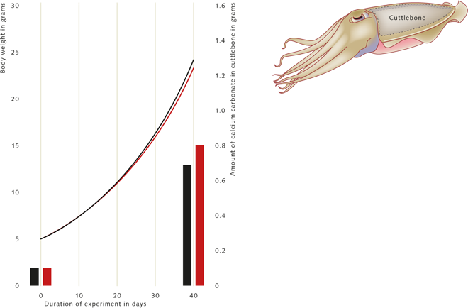 2.8 > Active and rapidly moving animals like the cephalopod mollusc (cuttlefish) Sepia officinalis are apparently less affected by acidification of the water. The total weight of young animals increased over a period of 40 days in acidic seawater (red line) just as robustly as in water with a normal pH and CO₂- content (black line). The growth rate of the calcareous shield, the cuttlebone, also proceeded at very high rates (see the red and black bars in the diagram). The amount of calcium carbonate (CaCO₃) incorporated in the cuttlebone is used as a measure here. The schematic illustration of the cephalopod shows the position of the ­cuttlebone on the animal. © maribus (after Gutowska et al., 2008)