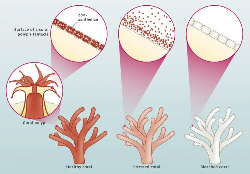 fig. 3.10: Corals are basically colourless. Single-celled organisms (zooxanthellae) residing in the coral tissue are responsible for making them appear colourful. Zooxanthellae engage in photosynthesis and are of a greenish or reddish colour. If the coral comes under stress, for example due to elevated water temperatures or water pollution, it expels the zooxanthellae and bleaches as a result. Moreover, it now lacks the essential sugar compounds normally provided by the zooxanthellae. This weakens the coral. © maribus