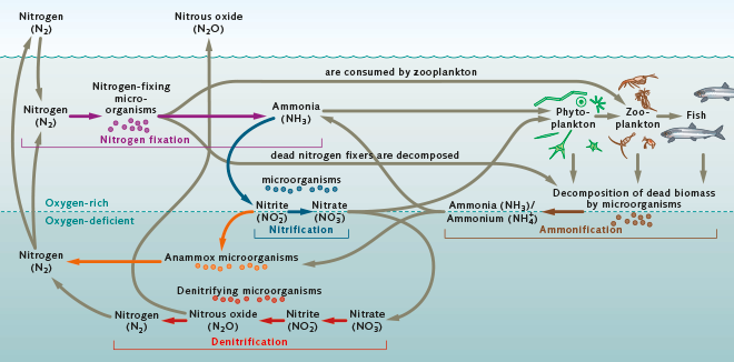 Transformations Of A Key Nutrient The Nitrogen Cycle World Ocean
