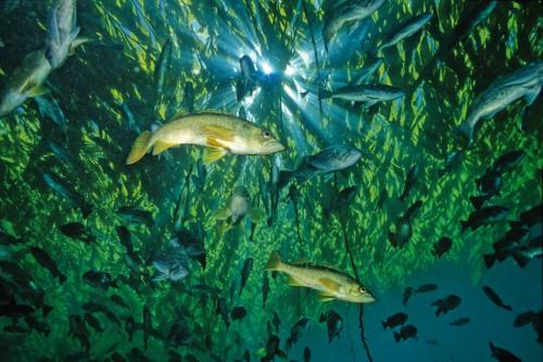 5.11 > In Kelpwäldern, wie diesem vor Kalifornien, leben Hunderte Fischarten, unter anderem der gelbliche Greenie, Sebastes flavidus. ©David Wrobel/SeaPics.com