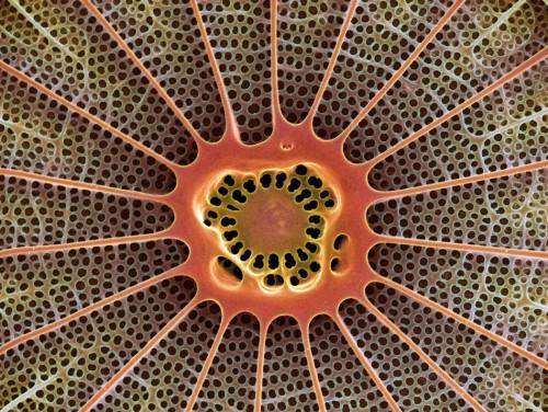 2.9 > Kieselalgen wie diese vom Typ Arachnoidiscus sind eine wichtige Nahrungsgrundlage für höhere Lebewesen. Wie stark sie von einer Versauerung der Meere betroffen sein werden, ist noch ungewiss. ©Steve Gschmeissner/Science Photo Library/Agentur Focus