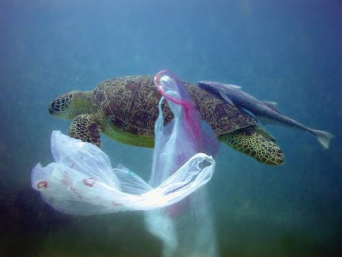 4.11 > Eine Suppenschildkröte hat sich im Komoren-Archipel im Indischen Ozean in einer Plastiktüte verfangen. Zum Verhängnis wird diesen Tieren der Abfall, wenn sie sich darin so verheddern, dass sie nicht mehr zum Atmen auftauchen können. ©Pierre Huguet/Biosphoto