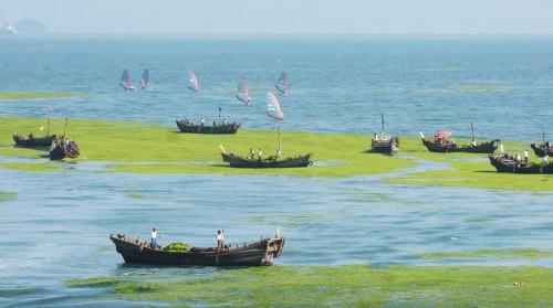 4.2 > Die Überdüngung der Meere wird häufig erst durch das massenhafte Auftreten von Grünalgen sichtbar. Im Vorfeld der olympischen Segelwettbewerbe 2008 in Qingdao mussten sie in Handarbeit von der Wasseroberfläche entfernt werden. ©AP Photo/Eye Press