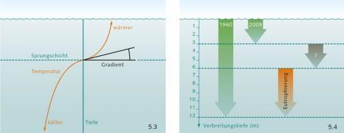 5.3 > Als Sprungschicht bezeichnet man die Trennungszone zwischen dem warmen, oberflächennahen Wasser und dem kalten Wasser in der Tiefe. Der Gradient ist ein Maß dafür, wie stark die Temperaturänderung zwischen warmem und kaltem Wasser an der Sprungschicht ist. ©maribus 5.4 > Um 1960 kam der Blasentang in der westlichen Ostsee bis in 12 Metern Tiefe vor, 2009 nur noch bis in 3 Metern. Der durch Eutrophierung verursachte Lichtmangel trägt erheblich zum Schwund zwischen 6 und 12 Metern bei. Den Rückgang zwischen 3 und 6 Metern aber kann man damit nicht erklären. ©maribus (nach M. Wahl)