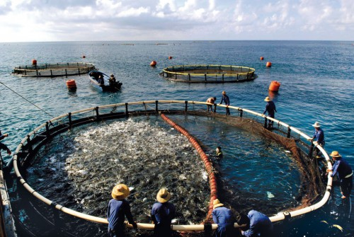 6.2 > Aquaculture is a booming industry today and fish are being farmed on a large scale, as seen here on the Chinese island of Hainan. However, fish farms do not necessarily help to conserve wild fish stocks as they require large quantities of fish meal or wild-caught forage fish for feed. © imago/Xinhua