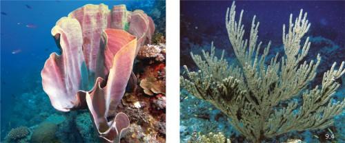 9.3 > Aus Schwämmen wie dem Elefantenohrschwamm Lanthella basta werden viele medizinisch wirksame Stoffe extrahiert. Dieser Schwamm liefert Substanzen, die das Wachstum von Tumoren hemmen. ©J.W. Alker/TopicMedia   9.4 > In der Koralle Plexaura homomalla konnten Forscher in den 1960er Jahren erstmals Prostaglandin-Hormone nachweisen. Die Koralle kommt in der Karibik und im Westatlantik bis in einer Tiefe von 60 Metern vor. ©Humberg/imago