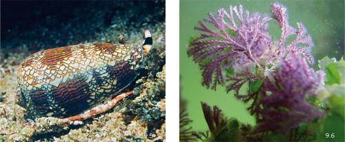 9.5 > Die Kegelschnecken, wie zum Beispiel die Art Conus textile, leben vor allem in den tropischen Meeresgebieten. Mit einer Harpune injizieren sie Gift in ihre Beute. Wissenschaftlern ist es gelungen, daraus ein Schmerzmittel herzustellen. ©Steve Parish/Steve Parish Publishing/Corbis 9.6 > Moostierchen sind winzige Tiere, die in ast- und blatt-ähnlichen Kolonien leben. Aus dem Moostierchen Bugula neritina stammt der Tumorhemmstoff Bryostatin. Vermutlich wird er von Bakterien auf der Oberfläche der Kolonie synthetisiert. ©Dean Janiak