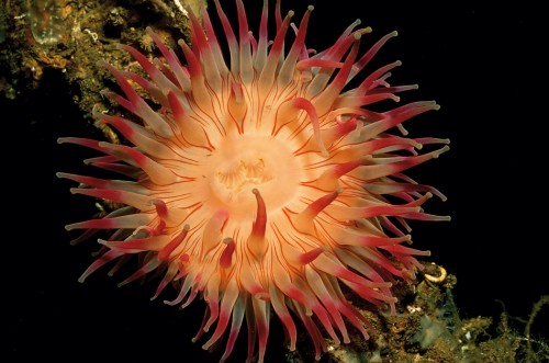 9.11 > Sea anemones belong to the species-rich phylum Cnidaria. They are related to corals and jellyfish. ©R. Dirscherl/Juniors Bildarchiv