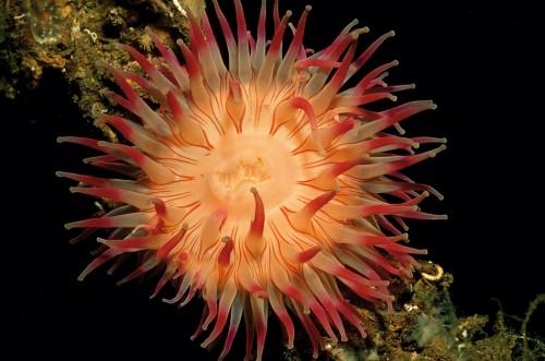9.11 > Seeanemonen gehören zu der artenreichen Gruppe der Nesseltiere, der Cnidaria. Zu ihren Verwandten zählen Korallen und Quallen. Abb.9.11:©R.Dirscherl/Juniors Bildarchiv