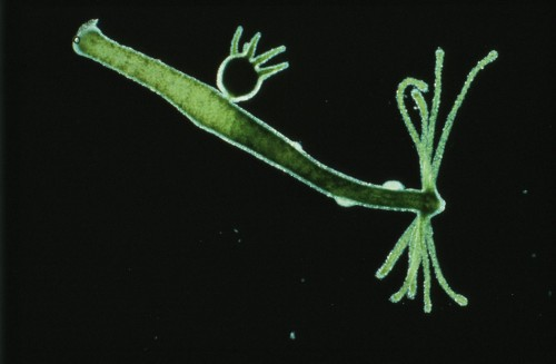 9.13 > The polyp Hydra, a cnidarian, is an ideal model organism. It is resilient and regenerates rapidly. Its reproduction process is also uncomplicated, with one method being to simply form a round polyp bud on the side of its body. ©NAS/M.I. Walker/OKAPIA