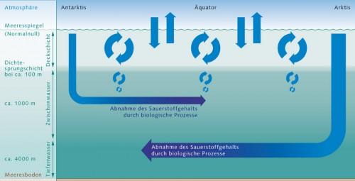 2.14 > Sauerstoff gelangt aus der Atmosphäre in das oberflächennahe Wasser der Ozeane, die Deckschicht. Diese ist gut durchmischt, steht daher in einem chemischen Gleichgewicht mit der Atmosphäre und ist folglich reich an O₂. Sie endet abrupt an der Dichtesprungschicht, die wie eine Barriere wirkt. Das sauerstoffreiche Wasser der Deckschicht vermischt sich daher kaum mit den tieferen Wasserschichten. In die Tiefe gelangt Sauerstoff letztlich nur durch die Meeresströmungen, insbesondere durch die Bildung von Tiefenwasser und Zwischenwasser in Arktis und Antarktis. Im Innern des Ozeans verbrauchen die Meeresorganismen Sauerstoff. Es entsteht also ein sensibles Gleichgewicht. ©maribus