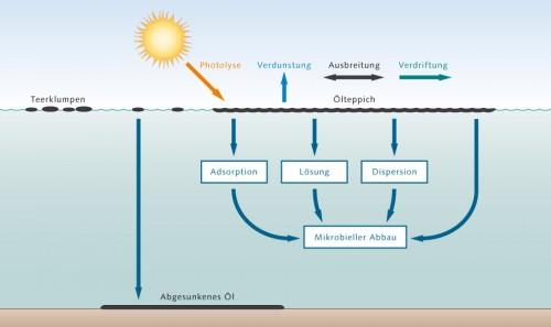 4.15 > Das Öl wird im Meer auf ganz unterschiedliche Weise verändert und abgebaut. Meist bildet es direkt nach einem Unfall breite Teppiche, die auf dem Wasser schwimmen. Während ein Teil des Öls verdunstet oder absinkt, werden andere Ölbestandteile von Bakterien verarbeitet oder durch die Sonnenstrahlung zerstört. Schließlich verklumpt das Öl, was den bakteriellen Abbau erschwert. Abb. 4.15: ©maribus (nach GKSS, van Bernem)