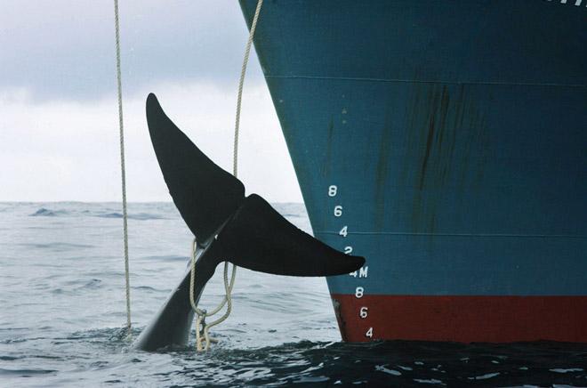 10.4 > Während sich die meisten Nationen auf einen Schutz der Wale verständigt haben, setzt Japan die Jagd fort, wie beispielsweise hier im Südpazifik. Die Japaner beziehen sich dabei auf eine Klausel des Fangmoratoriums, nach der der Walfang zu wissenschaftlichen Zwecken zulässig ist. Letztlich steckt aber bei ihnen ein kommerzielles Interesse dahinter.