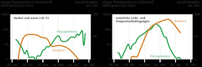 5.5 > Für gewöhnlich setzt die Vermehrung des Phytoplanktons (grüne  Linie) mit dem zunehmenden Lichtangebot gegen Ende des Winters vor dem Schlüpfen der Zooplanktonlarven (Nauplien, rote Linie) ein. Damit steht den Zooplanktern beim Schlüpfen genug Nahrung zur Verfügung. Ist hingegen wenig Licht vorhanden und das Wasser um 6Grad wärmer, schlüpfen die Zooplankter schon vor der Phytoplanktonblüte. Das ist fatal, denn in diesem Fall fehlt den Zooplanktonlarven die Nahrung. Sie verhungern. Das ist vor allem deshalb beunruhigend, weil Forscher zum Beispiel für die Ostsee genau dieses Szenario voraussagen: Aufgrund stärkerer Bewölkung dringt deutlich weniger Licht ins Wasser. Zugleich dürfte sich durch die Klimaerwärmung die Wassertemperatur erhöhen.