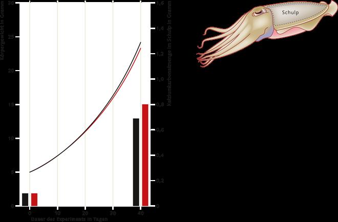 2.8 > Aktive und stark bewegliche Tierarten wie der gemeine Tintenfisch Sepia officinalis sind offensichtlich weniger von einer Versauerung des Wassers betroffen. Das Gesamtgewicht junger Tiere entwickelt sich in saurem Seewasser (rote Linie) über einen Zeitraum von 40 Tagen genauso gut wie in Wasser mit normalem pH- und CO₂-Gehalt (schwarze Linie). Auch das Wachstum des kalkhaltigen Rückenpanzers, des Schulps, weist keine Auffälligkeiten auf (siehe rote und schwarze Balken im Diagramm). Als Maß dient hier die Menge des im Schulp eingelagerten Kalziumkarbonats (CaCO₃). Die schematische Zeichnung des Tintenfischs zeigt die Lage des Schulps im Tier.