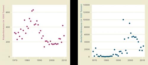 """1.4 > """"Räuber-Beute-Rückkopplung"""": Mitte der 1980er Jahre begann der Bestand des nordwestatlantischen Kabeljaus vor Kanada stark abzunehmen (linke Grafik). In der Folge nahm die Biomasse der kleineren Nahrungsfische zu (rechts). Seit wenigen Jahren scheint sich dieser Trend wieder umzukehren. © nach Frank et al. (2011)"""