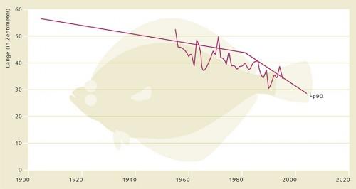 1.15 > Durch die jahrzehntelange Fischerei haben sich in der Nordsee nach und nach Schollen durchgesetzt, die schon bei geringer Körpergröße geschlechtsreif werden. In mathematischen Modellen, die mit verschiedenen Wahrscheinlichkeiten (p) arbeiten, lässt sich dieser Zusammenhang anschaulich verdeutlichen. Dargestellt ist die Körperlänge (L) von 4-jährigen Schollen, die mit 90-prozentiger Wahrscheinlichkeit (p90) in der kommenden Saison geschlechtsreif werden. Wie diese Grafik illustriert, hat diese Körperlänge (Lp90) im Laufe der letzten Jahre deutlich abgenommen. © nach Dieckmann et al. (2009)
