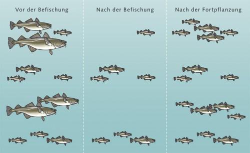 1.17 >  Ein Fischbestand vor der Befischung, nach der Befischung und nach der Fortpflanzung. Die Veränderungen der Körpergröße ergeben sich aus der fischereiinduzierten Evolution. © nach Dieckmann