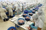 2.3 > Mass processing: Pangasius is filleted in Vietnam for export to Europe. © LookatSciences/laif