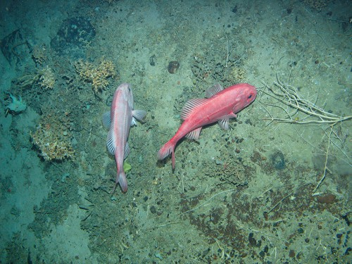 3.17 > The orange roughy lives at depths down to 1800 metres. © Courtesy of JNCC