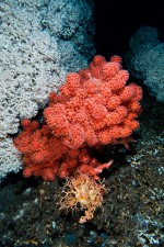 3.20 > In Norway's Trondheimsfjord the red bubble gum coral (Paragorgia arborea) occurs beside the white stony coral Lophelia pertusa. There are around 1000 cold-water coral species worldwide. © Birgitta Mueck
