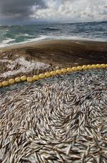 "3.6 > A net bulging with herring is pulled on board the Norwegian trawler ""Svanug Elise"". The last good herring year off the coast of Norway was 2004. © Jean Gaumy/Magnum Photos/Agentur Focus"