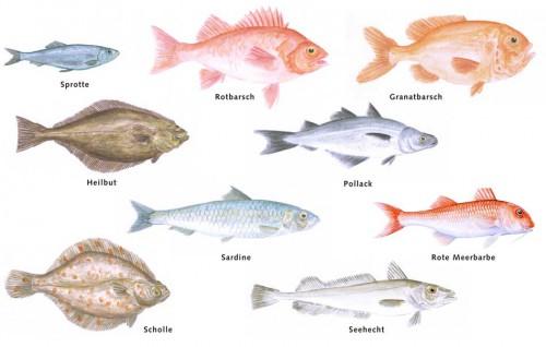 verschiedene Fische © Sonia Schadwinkel / Greenpeace (8), Rote Meerbarbe: Jon Baldur Hildberg