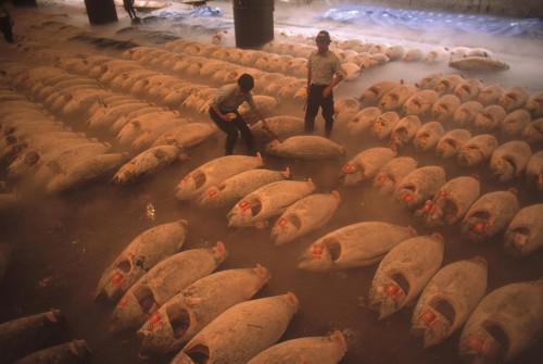 3.11 > Japan ist ein bedeutender Abnehmer von Thunfisch. Zu Dutzenden lagern die tiefgefrorenen Tiere in der Kühlhalle eines Tokioter Fischmarkts.  © Bruno Barbey/Magnum Photos/Agentur Focus