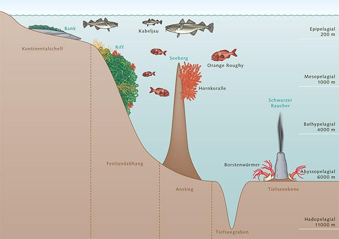 3.14 > In den Tiefenzonen des Meeres haben sich unterschiedliche Lebensräume wie etwa Schwarze Raucher oder Kaltwasserkorallenriffe herausgebildet. Welche Lebewesen wo siedeln, hängt unter anderem von der Tiefe und der Beschaffenheit des Bodens ab. © maribus