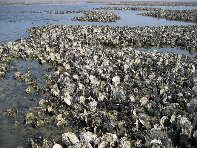 4.10 > Die Pazifische Auster hat sich im gesamten Wattenmeer ausgebreitet. Sie überwuchert vor allem Miesmuschelbänke, die für Seevögel wie zum Beispiel Eiderenten eine wichtige Nahrung sind. Eingeführt wurde sie ursprünglich von Muschelzüchtern in den Niederlanden und auf Sylt. © Achim Wehrmann/dapd/ddp images