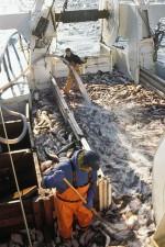 "5.6 > Fischer sortieren an Deck des Trawlers ""Messiah"" einen Fang Kabeljau, den sie bei den Aleuten aus dem Pazifik gezogen haben. © Steven J. Kazlowski/Alamy/Mauritius Images"