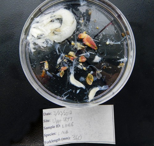 5.7 > Stomach content analysis shows what marine fauna feed on – in this case a crustacean, snails and a bullhead, a bony fish. © FISHBIO