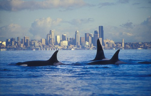 5.8 > Natural beauty against an urban backdrop: for the citizens of Seattle, orcas in the Puget Sound are a common sight. © Mark Sears/thewhaletrail.org