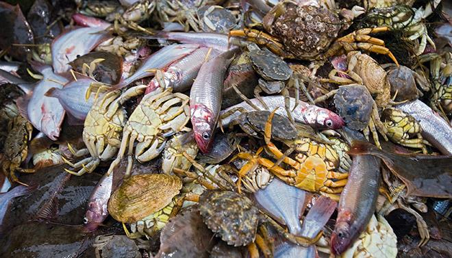 5.11 > In der Nordsee finden sich in einem typischen Beifang kleine Plattfische und viele Krebse wie zum Beispiel Strandkrabben.  © Martin Kirchner/laif