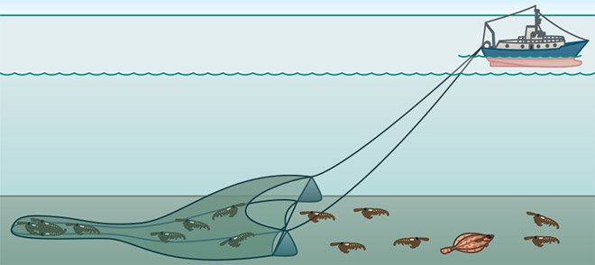Baumkurren sind beutelartige Grundschleppnetze, die an einem schweren Metallgestänge über den Meeresboden geschleift werden. Viele auf und im Boden lebende Tiere werden dadurch getötet. © maribus