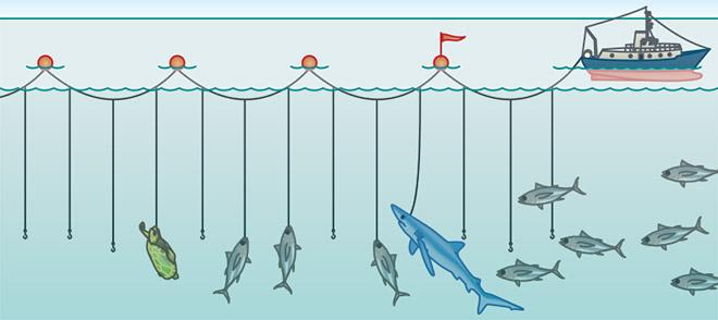 Langleinen bestehen aus einer bis zu 100 Kilometer langen Mutterleine, an der kurze Nebenleinen mit Tausenden Haken und Ködern befestigt werden. Problematisch ist der Beifang. An den Haken bleiben Delfine, Haie, Schildkröten und Seevögel hängen. © maribus