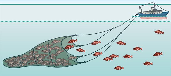 Pelagische Schleppnetze werden wie Trichter von 1 oder 2 Schiffen geschleppt. Die Fische werden wie mit dem Kescher gefangen und sammeln sich am Ende des Netzes in einer Tasche. In bestimmten Gebieten werden andere Fischarten als Beifang gefischt. © maribus
