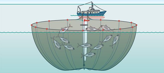 RingwadenNetze werden kreisförmig um einen Schwarm gelegt und dann zusammengezogen. Der Beifang anderer Fischarten ist gering, da gezielt Fischschwärme einer Art befischt werden. Allerdings werden oftmals Delfine oder Schildkröten mitgefangen. Moderne Ringwaden haben Fluchtöffnungen. © maribus