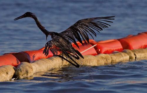 """1.47 > Wasservögel gehören zu den prominentesten Opfern einer Ölkatastrophe.  Dieser Reiher war durch das Öl der """"Deepwater Horizon"""" stark verklebt. © MATTHEW HINTON/picture alliance/landov"""