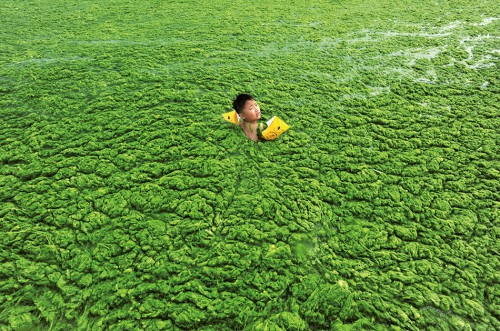 Abb. 4.7 > Vor der chinesischen Küste bei Qingdao badet ein Junge in einem Teppich aus Algen. Eine der  Ursachen der Algenblüte ist Überdüngung. Auch andernorts werden Küstengewässer trotz internationaler Meereschutzvereinbarungen verschmutzt. © China Daily China Daily Information Corp – CDIC/Reuters