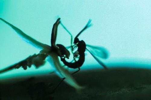 Abb. 1.14: Ein Teil der Blüte der Orchideenart Lepanthes glicensteinii ist wie das Geschlechtsteil weiblicher Trauermücken geformt. In die Irre geführt, kopuliert das Männchen mit der Blüte und nimmt dabei Pollen auf, mit denen es anschließend andere Pflanzen bestäubt– ein Beispiel für eine regulierende Ökosystemleistung. © Mario A. Blanco