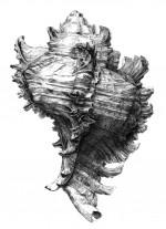 Abb. 2.8: Die Purpurschnecke Bolinus brandaris. Der Purpurfarbstoff wurde aus einem weißlichen Sekret in der Mantelhöhle gewonnen. 8000 Purpurschnecken waren nötig, um 1 Gramm des Farbstoffs zu produzieren. 200 Gramm davon waren erforderlich, um 1 Kilogramm Wolle zu färben. ©Jakob Demus, Wien