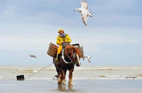 Abb. 2.9: Im belgischen Oostduinkerke gibt es noch einige Fischer, die Krabben auf sehr eigentümliche Weise fangen. Sie sitzen auf einem Pferd, das die schweren Krabbennetze hinter sich herzieht. ©Belga/face to face