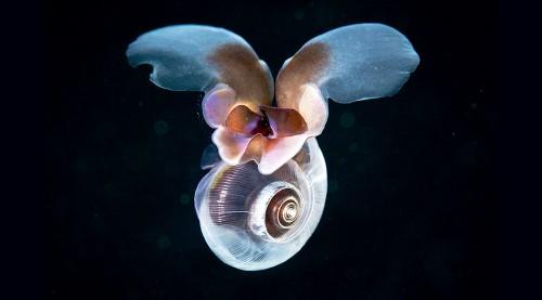 Abb. 2.16: Pteropoden besitzen zarte Kalkschalen, die sich unter dem Einfluss der Ozeanversauerung auflösen könnten. © Alexander Semenov/Science Photo Library/Agentur Focus