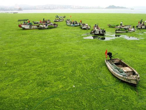 Abb. 2.18: Algenplage vor der chinesischen Küstenstadt Qingdao. Von Fischerbooten aus versuchen Helfer, die grünen Massen einzusammeln. Seit etwa 10 Jahren treten Algenblüten in der Region auf. Forscher führen sie auf den starken Eintrag von Nährstoffen ins Meer zurück. © UPPA/Photoshot