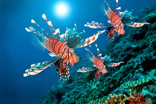 fig. 2.24: The red lionfish Pterois volitans is native to Japanese waters. This predatory species has invaded Atlantic waters from Florida to the Caribbean. It is thought that the first individuals were released off the U.S. Atlantic coast in the early 1990s by aquarium owners. © Manfred Bail/SeaPics.com
