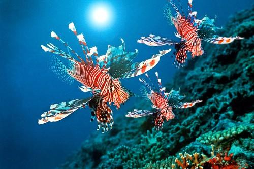 Abb. 2.24:  Der Rotfeuerfisch Pterois volitans stammt ursprünglich aus japanischen Gewässern. Als Raubfisch hat er sich von Florida bis in die Karibik ausgebreitet. Man vermutet, dass erste Exemplare in den 1990er Jahren von Aquaristen an der US-Küste ausgesetzt worden waren. © Manfred Bail/SeaPics.com